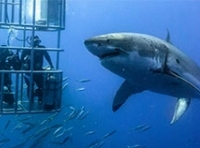 Shark Diving & Viewing